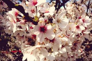 桜も終わりイメージ