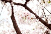 【日曜ユル書き】その44_故郷の話をしよう 〜桜と共に育ってきた。