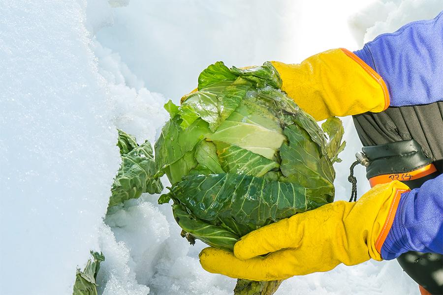 小谷村の雪中キャベツ