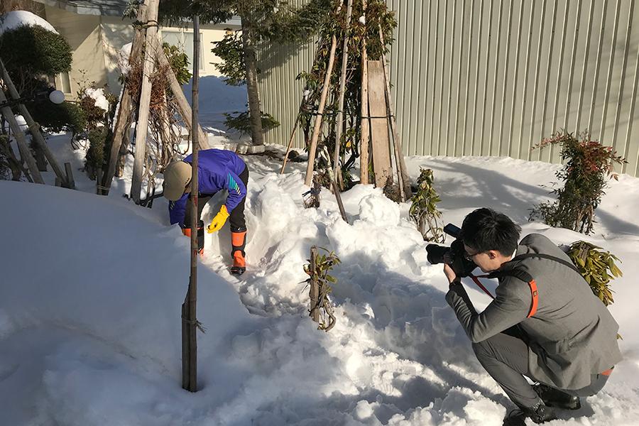 雪中キャベツ