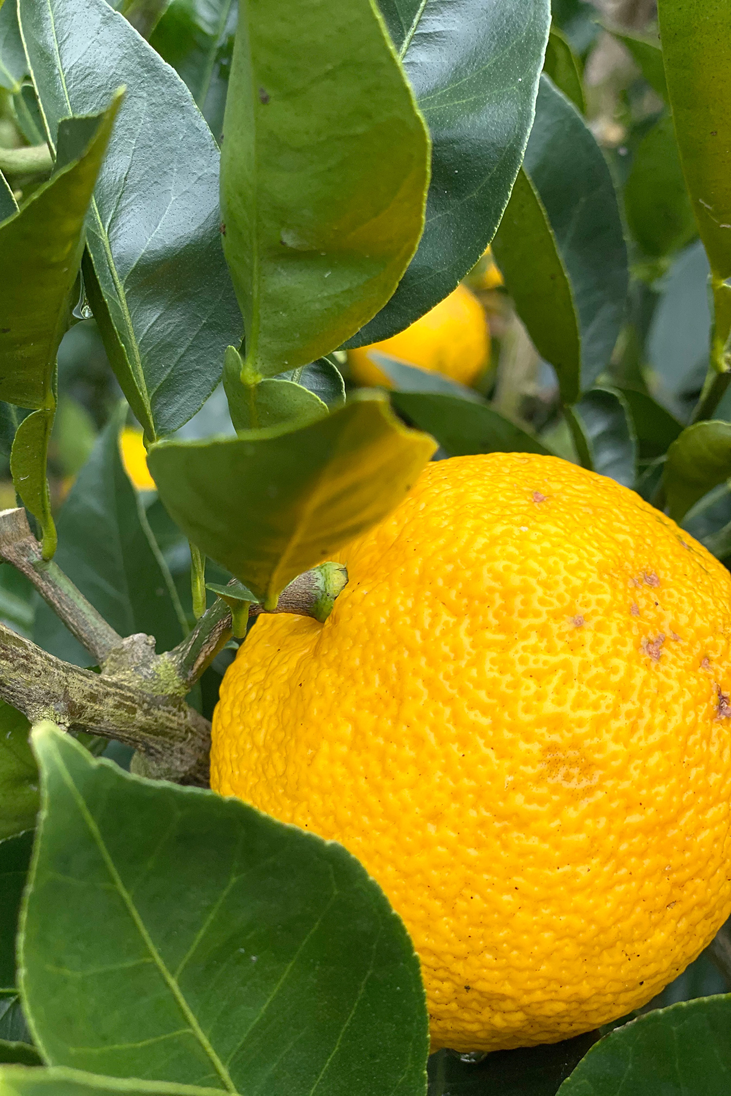 黄色い完熟日向へべすの写真