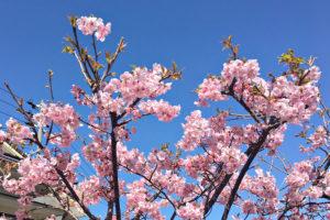 3月になりましたね〜河津桜が満開でした!イメージ