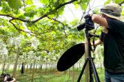 ぶどうシーズン真っ只中!連日の撮影…_橘萄園プロジェクト